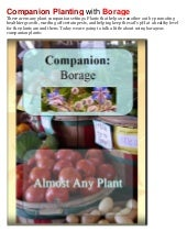Companion Planting with Borage