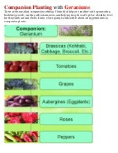 Companion Planting with Geraniums