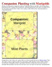 Companion Planting with Marigolds