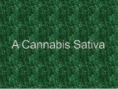 A cannabis sativa