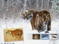 Amazing Creatures (Tiger & Cheetah)