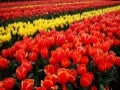 Amazing Tulip Farms