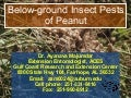 Soil Insect Pests of Peanuts