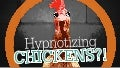 Chicken Hypnosis & Bad Presentations #PresentationTips