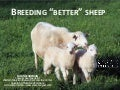 Breeding better sheep