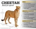 Cheetah: Built for speed