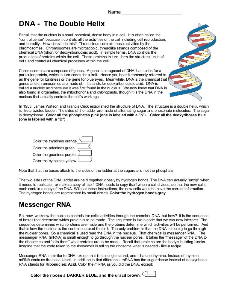 Worksheets Dna The Double Helix Worksheet Answer dna coloring