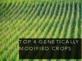 Top Four Genetically Modified Crops