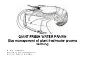 Giant freshwater prawn_size_management