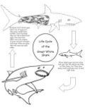 Great white shark life cycle handout