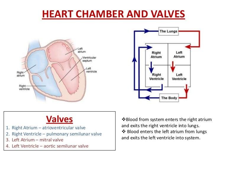 heart chamber and valve diagram : heart chamber diagram - findchart.co