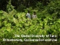 Global diversity of taro: conservation and use