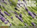 Images of Lavender