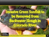 Invasive Green Sunfish to be Removed from Backwater Slough In Colorado River