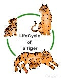 Life cycle of a tiger