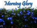 Morning glory (v.m.)