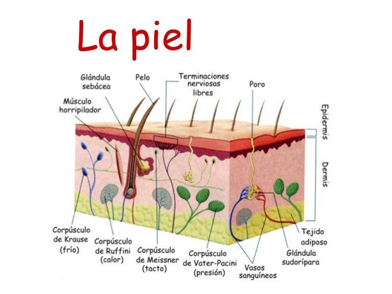 Células de la piel y su localización