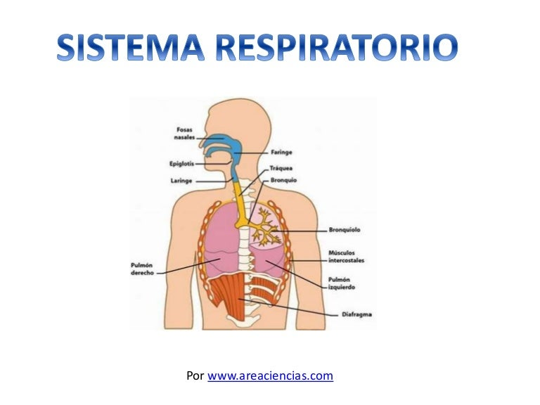 sistema-respiratorio -141210040243-conversion-gate01-thumbnail-4.jpg?cb=1418184258