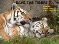 save the tiger!