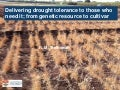 GRM 2013: Delivering drought tolerance to those who need it: From genetic resources to cultivar – R Trethowan