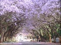 Under The Jacaranda Tree