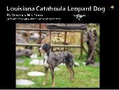 Catahoula Leopard Dog Report
