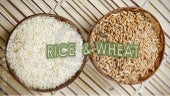 WHEAT & RICE (history,introduction,insects pests,their management,cultivation &harvesting)