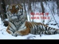 Wildlife of amur tiger