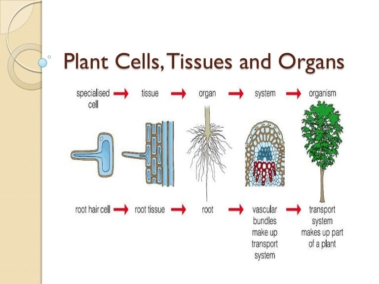 05 plant cells  tissues and organs