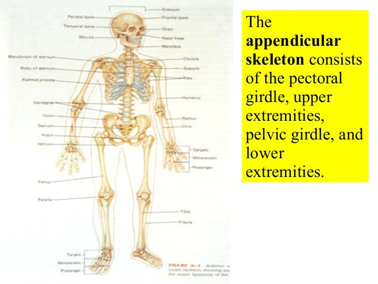 06 Appendicular Skeleton Pectoral Girdle And Upper Limbs – Appendicular Skeleton Worksheet
