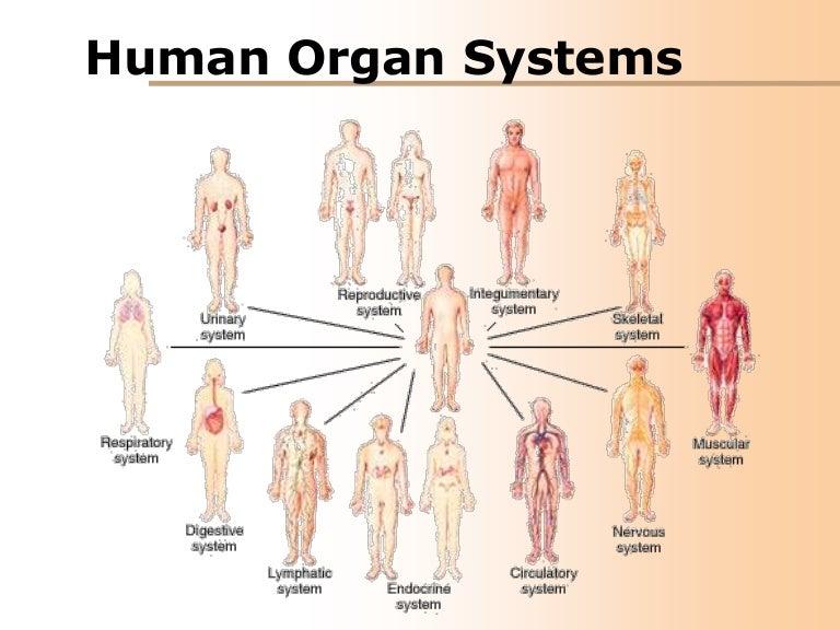 11 Organ Systems The Human Body Diagram - DIY Wiring Diagrams •