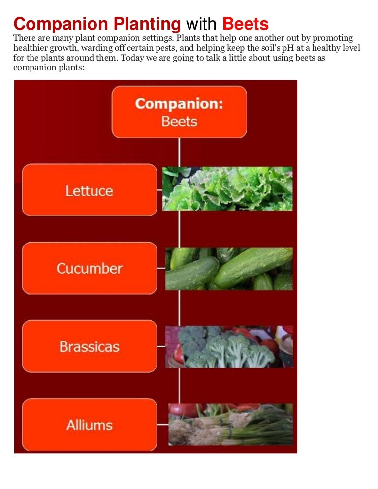Companion Planting With Zucchini: Companion Planting With Beets
