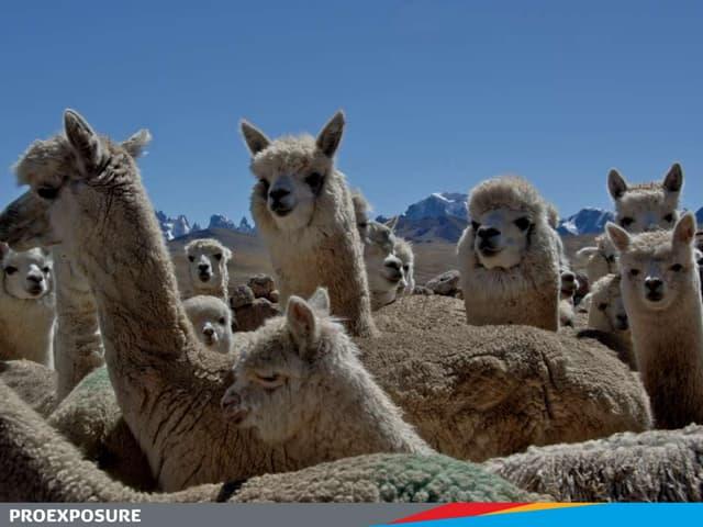 PROEXPOSURE Alpaca capital of the world