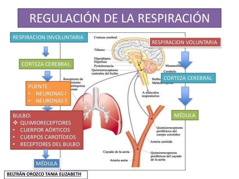 21 regulacion de la respiracion