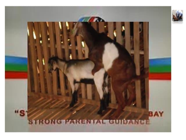 Alternative means of Inducing Estrus in Goats - CB_Snchez