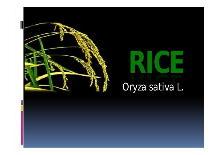 4 rice