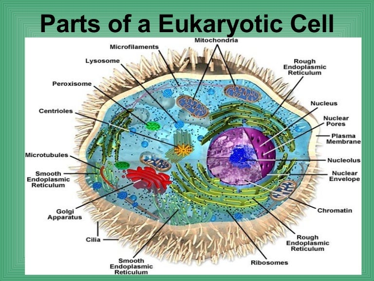 4 2 Parts Of A Eukaryotic Cell