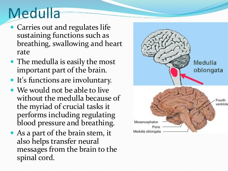 medulla function – citybeauty, Human body