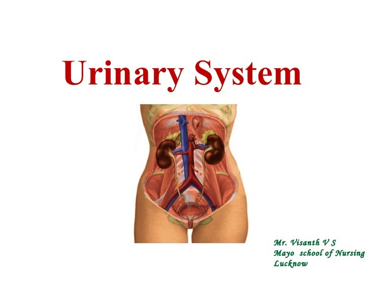 Urinary System Anatomy Ppt