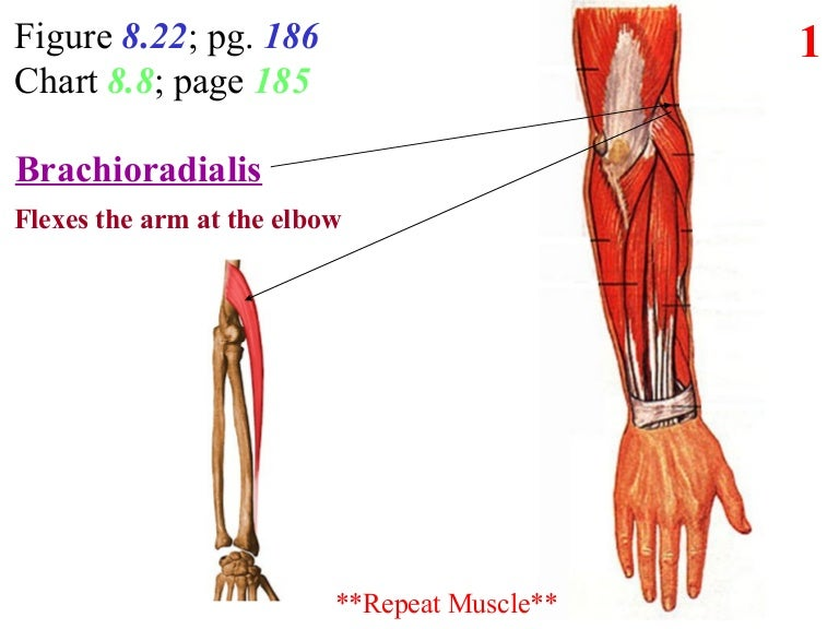 5. posterior arm forearm
