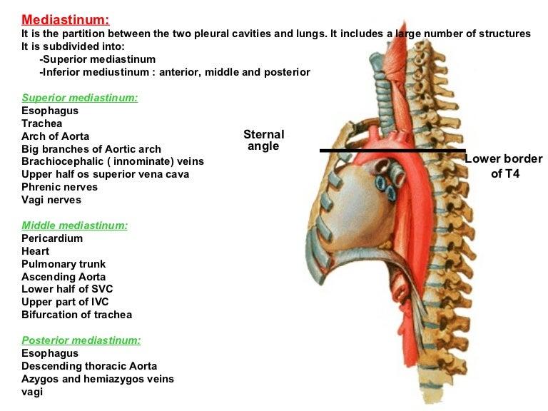 vertebral body diagram 56 mediastinum  56 mediastinum