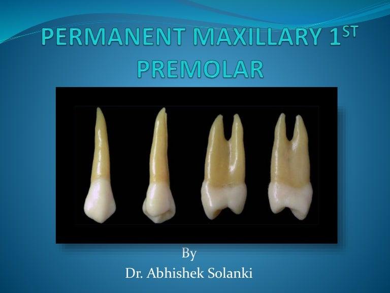 Permanent Maxillary 1st Premolar