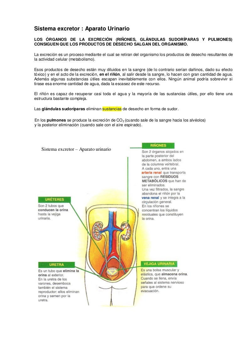 62 Sistema Urinario - Bolsa De Agua En El Rinon | www.lesh.online ...