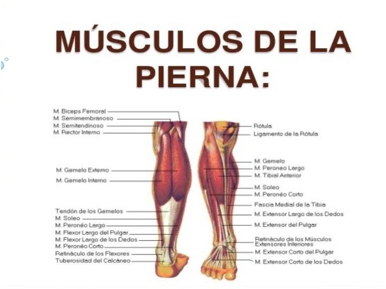 Anatomía de la pierna y pie. miologia, vasc. e inerv