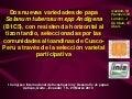 Dos nuevas variedades de papa Solanum tuberosum spp Andígena (B1C5), con resistencia horizontal al tizon tardio, seleccionadas por las comunidades altoandinas de Cusco-Peru a través de la selección varietal  participativa