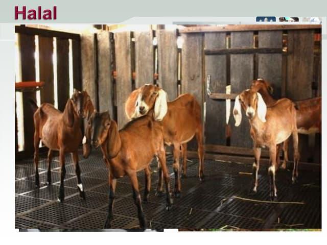 Raising goats the Halal way - RS_Hechanova