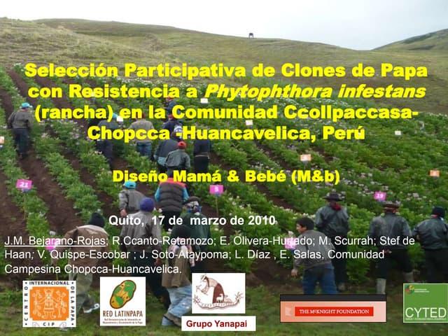 Selección Participativa de Clones de Papa con Resistencia a Phytophthora infestans (rancha) en la Comunidad Ccollpaccasa-Chopcca -Huancavelica, Perú