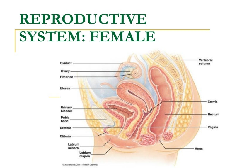 Female Pig Oviduct System Diagram - Circuit Connection Diagram •