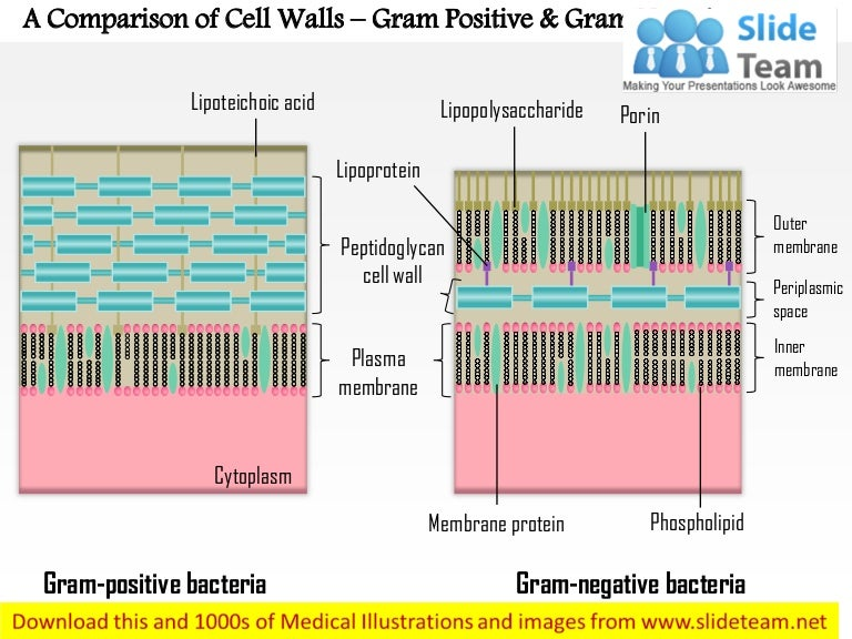 A Comparison Of The Cell Walls Gram Positive And Gram Negative Medi