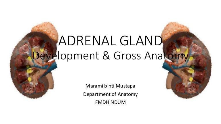 Adrenal Gland Endocrine